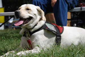 A service dog resting during the festival.